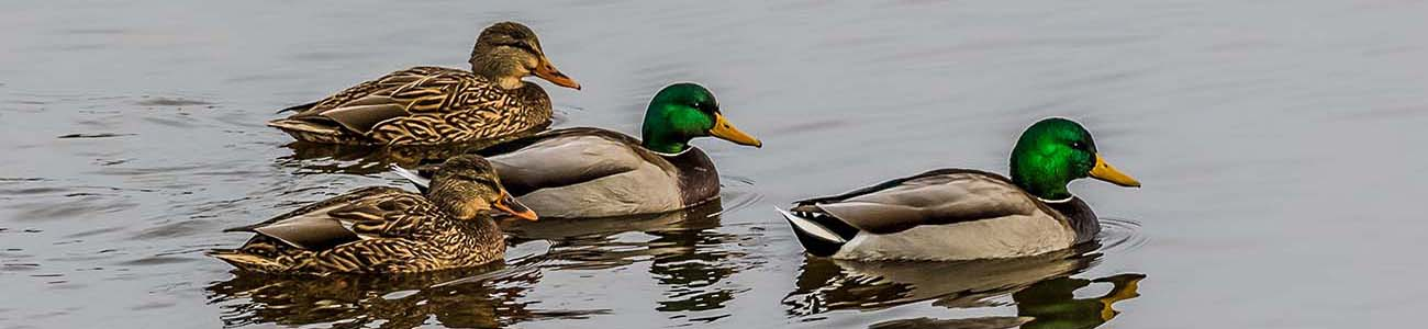 ducks hayfield minnesota